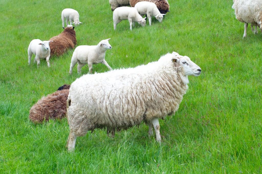 Spiekeroog Natur Schafe Deich Ostfriesland