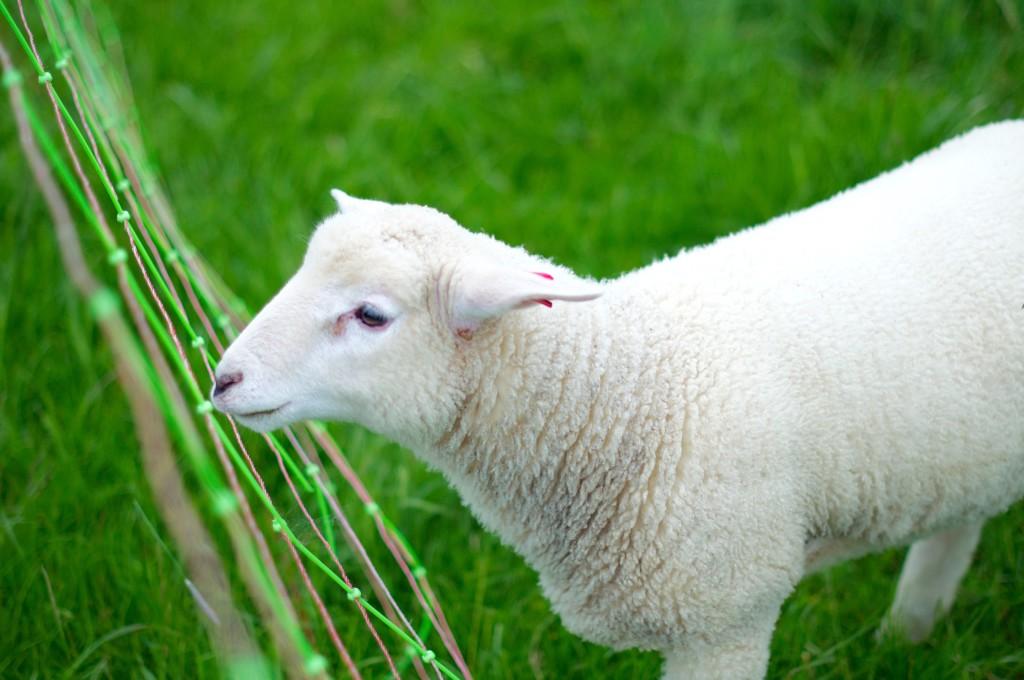 Spiekeroog Natur Schafe Ostfriesland