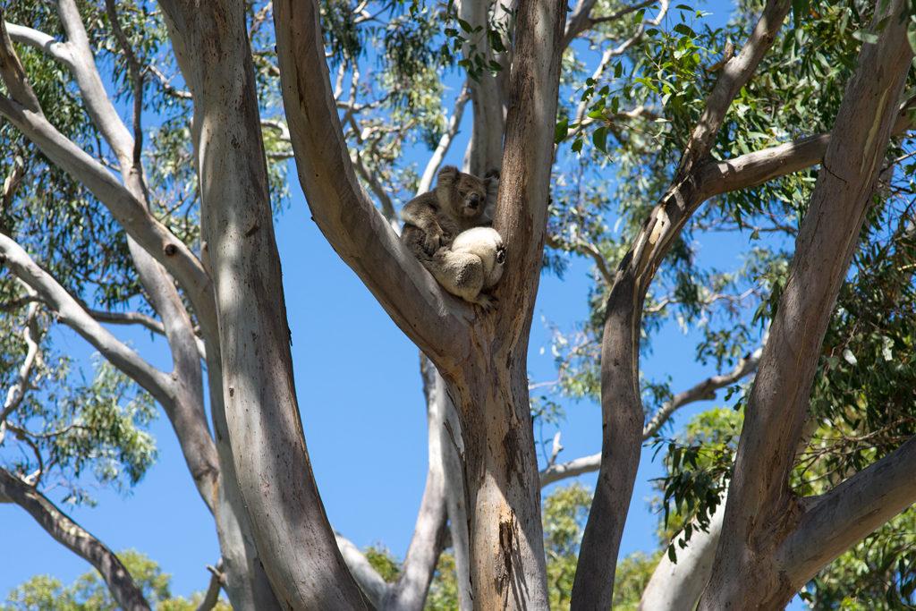 Koalabär Australien Australienreise